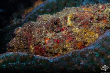 Stonefish (Synanceia verrucosa) is also known as the Reef Stonefish