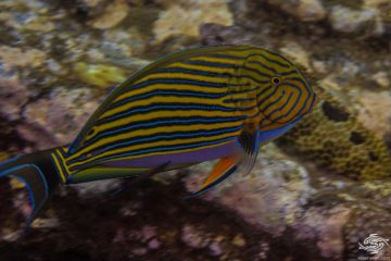 Acanthurus lineatus common names lined surgeonfish, lue banded surgeonfish, blue-lined surgeonfish, clown surgeonfish, clown tang , pyjama tang, striped surgeonfish, and zebra surgeonfish,