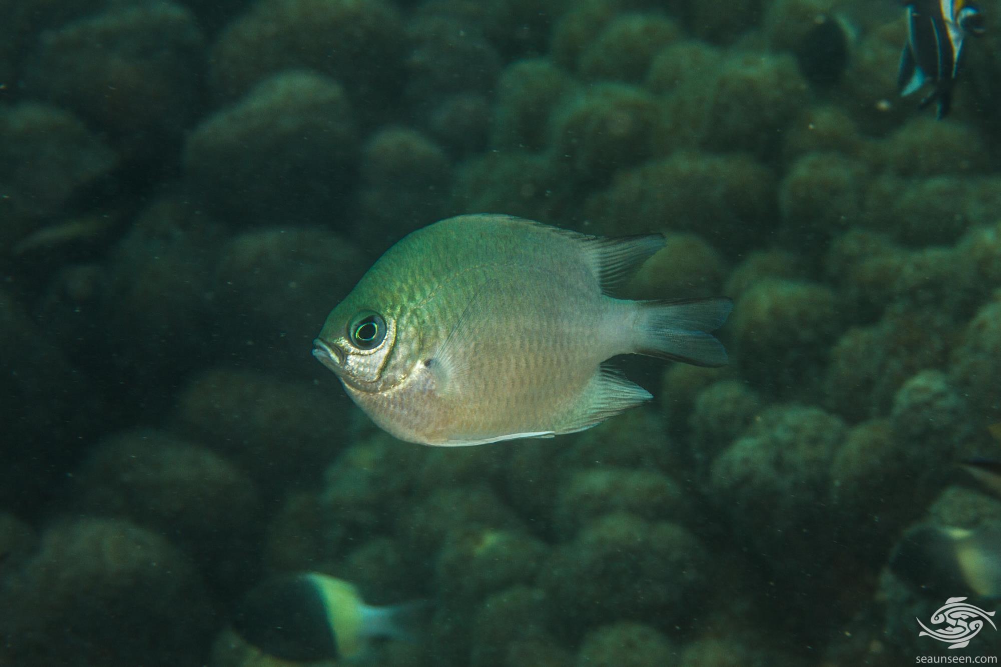 Maldives damselfish (Amblyglyphidodon indicus)