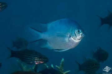 Maldives damselfish (Amblyglyphidodon indicus)