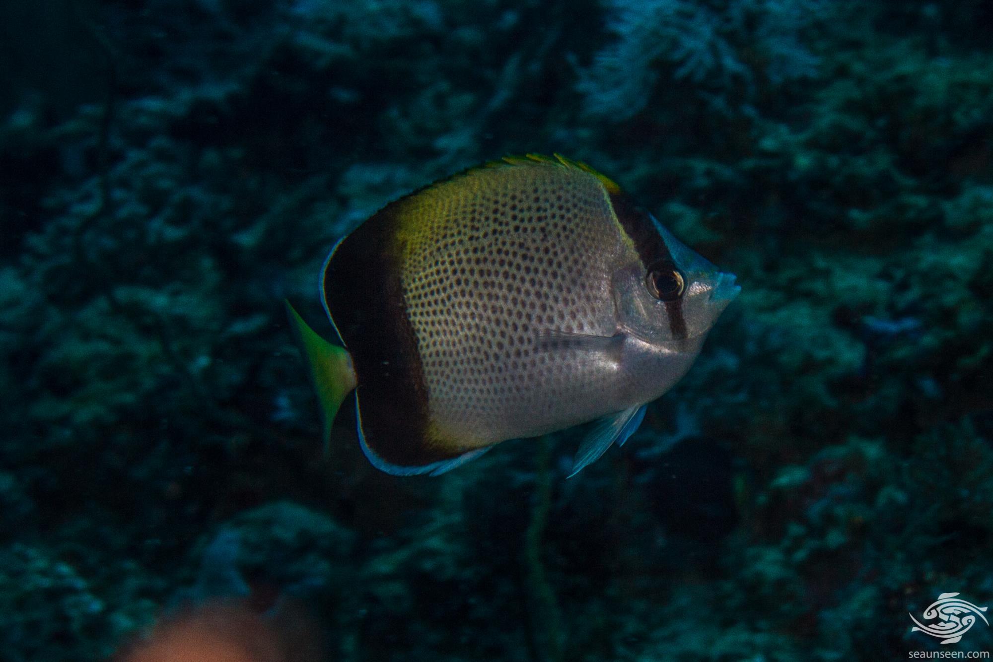 African butterflyfish 2
