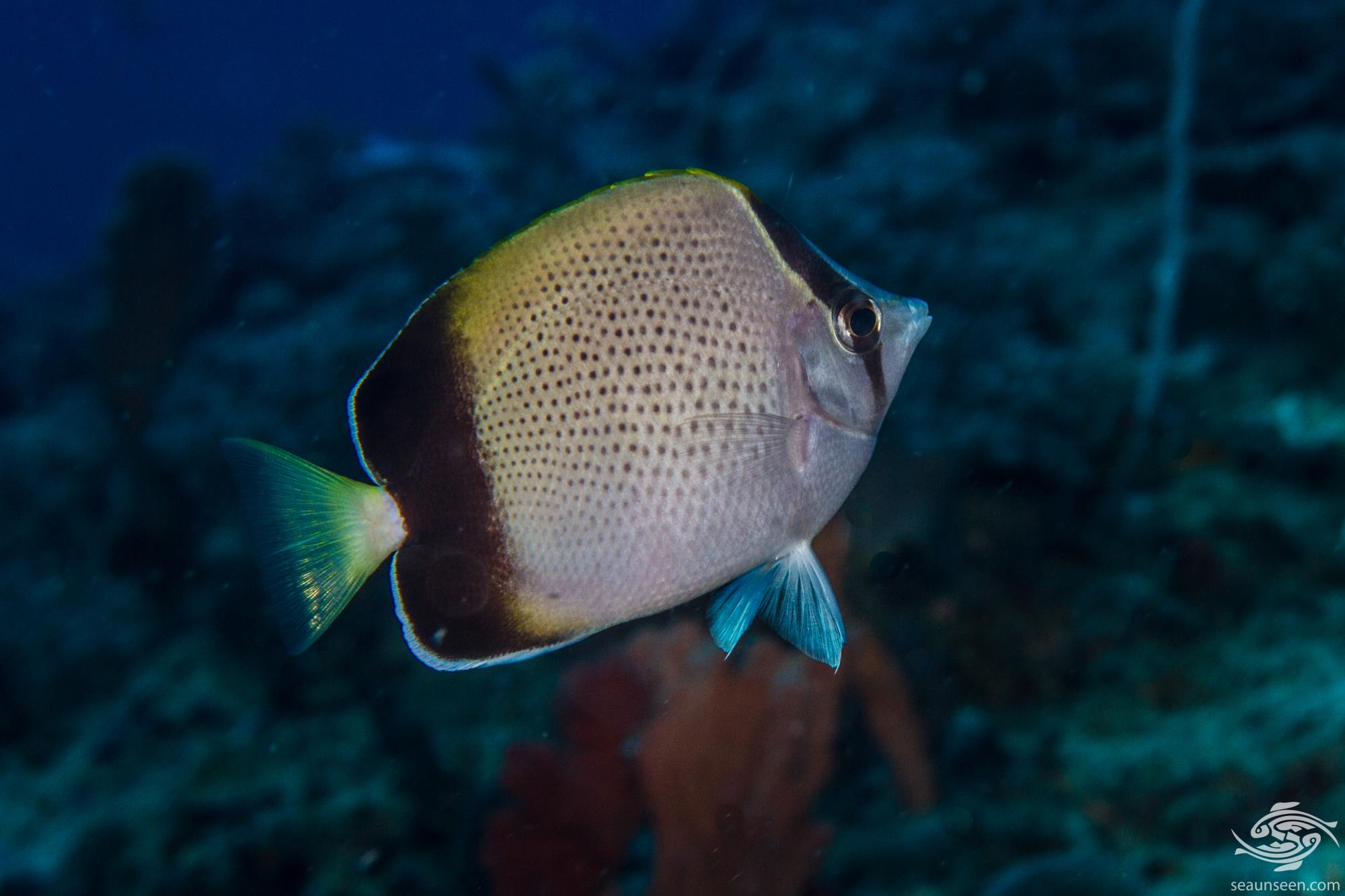 African butterflyfish 3