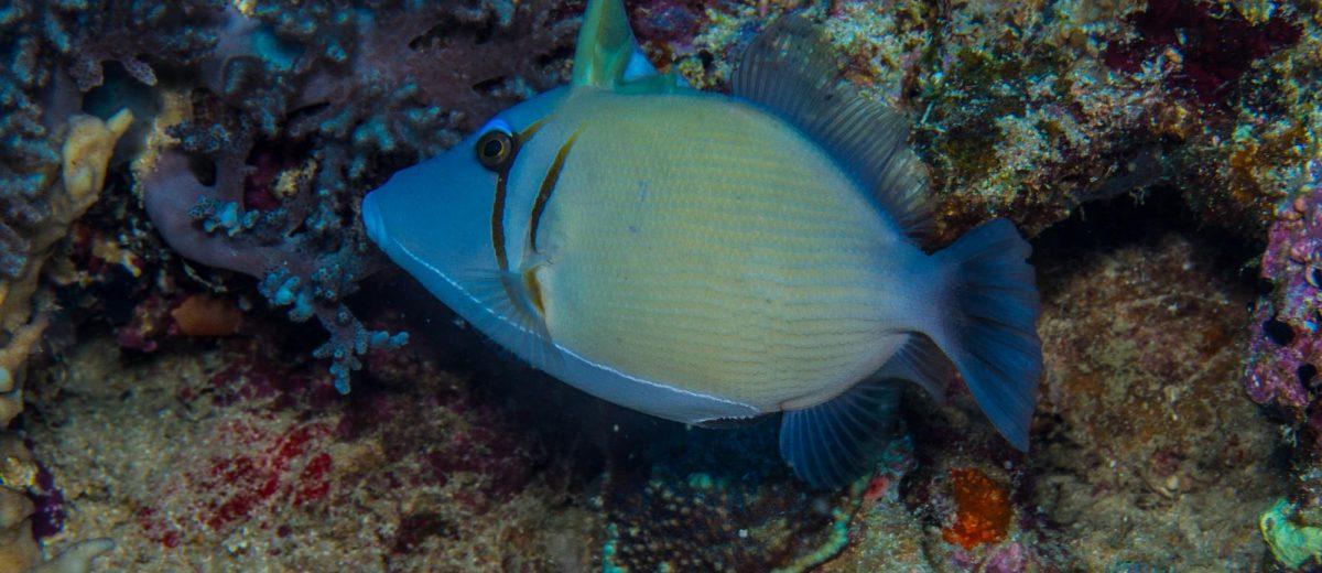 Boomerang Triggerfish (Sufflamen bursa) or Lei Triggerfish, Reef Triggerfish, Scimitar Triggerfish, Scythe Triggerfish