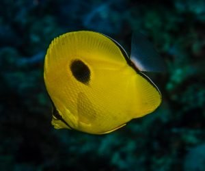 yellow teardrop butterflyfish, Chaetodon interruptus