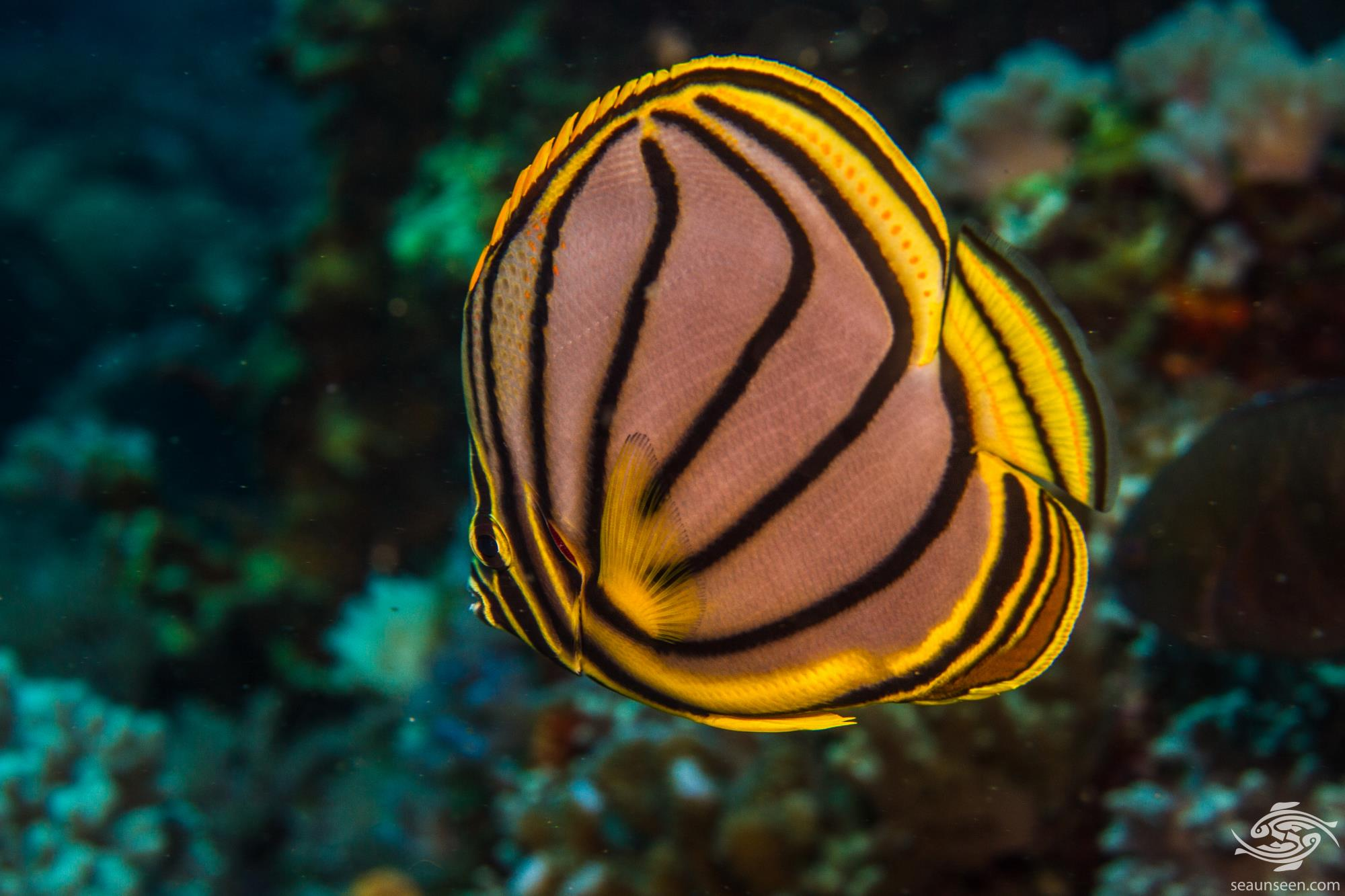 Meyer's Butterflyfish (Chaetodon meyeri) also known as Maypole Butterflyfish
