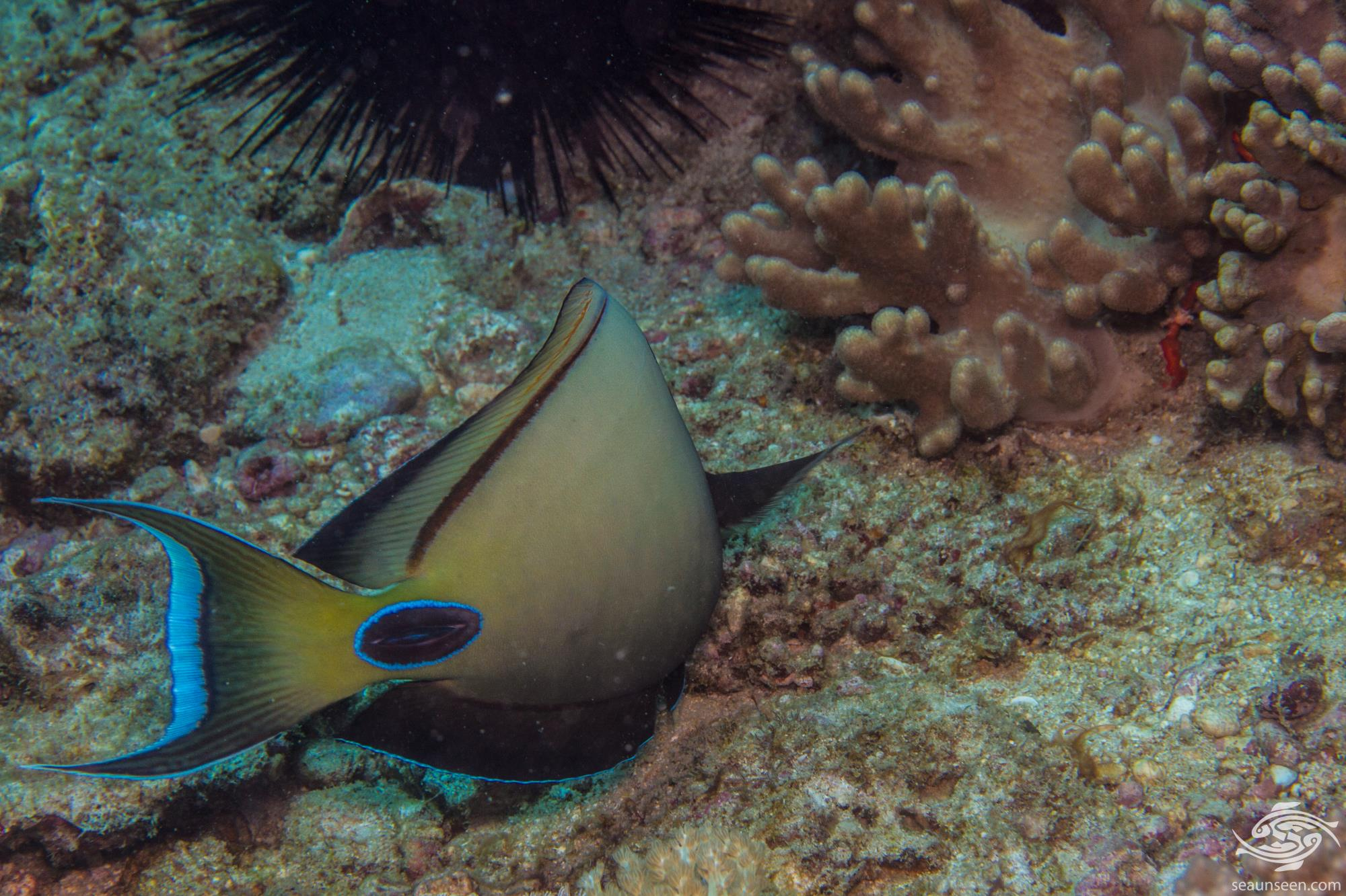 Lieutenant Surgeonfish (Acanthurus tennentii) is also known as the Doubleband Surgeonfish