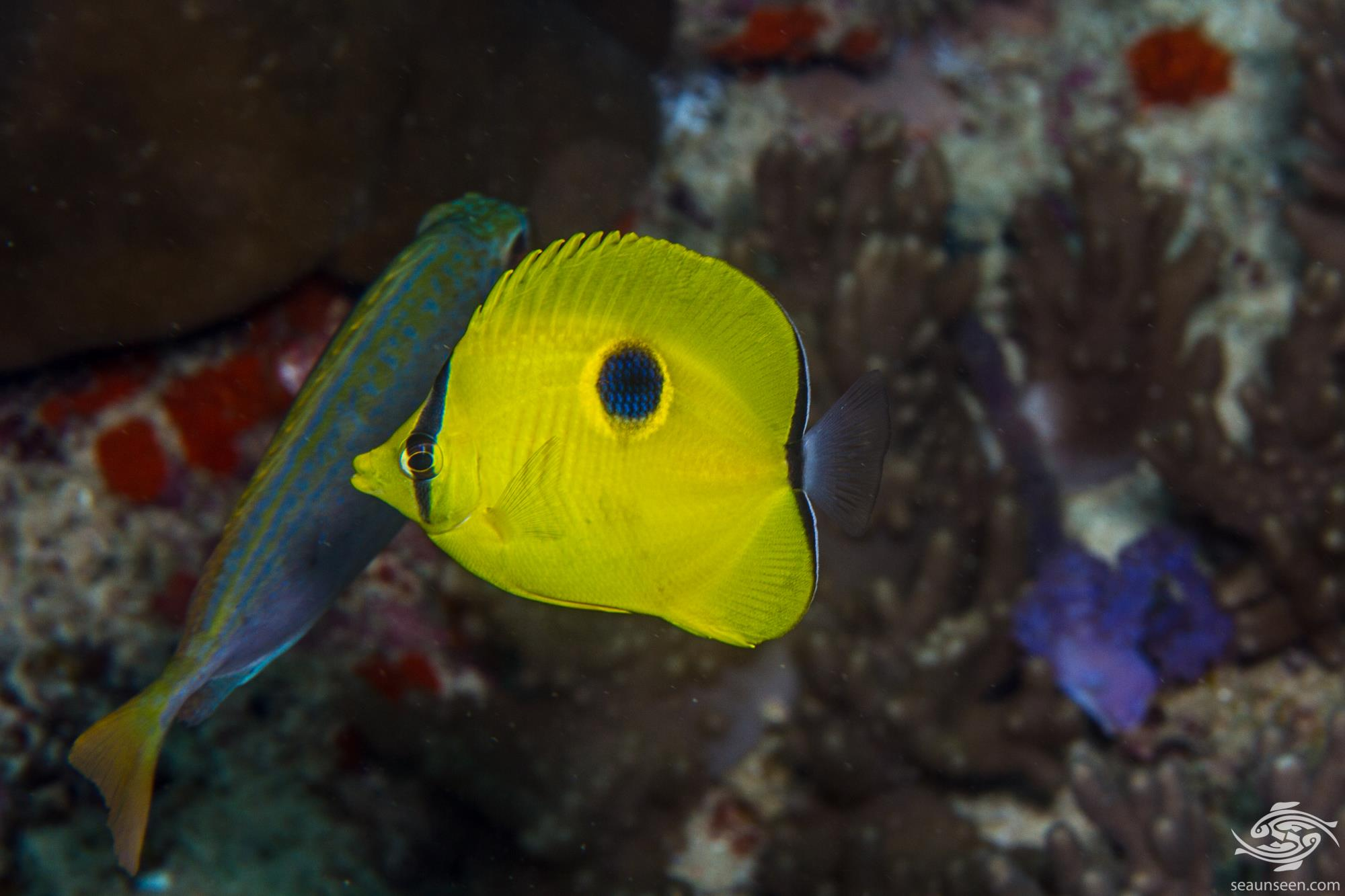 Yellow Teardrop Butterflyfish ( Chaetadon interuptus)