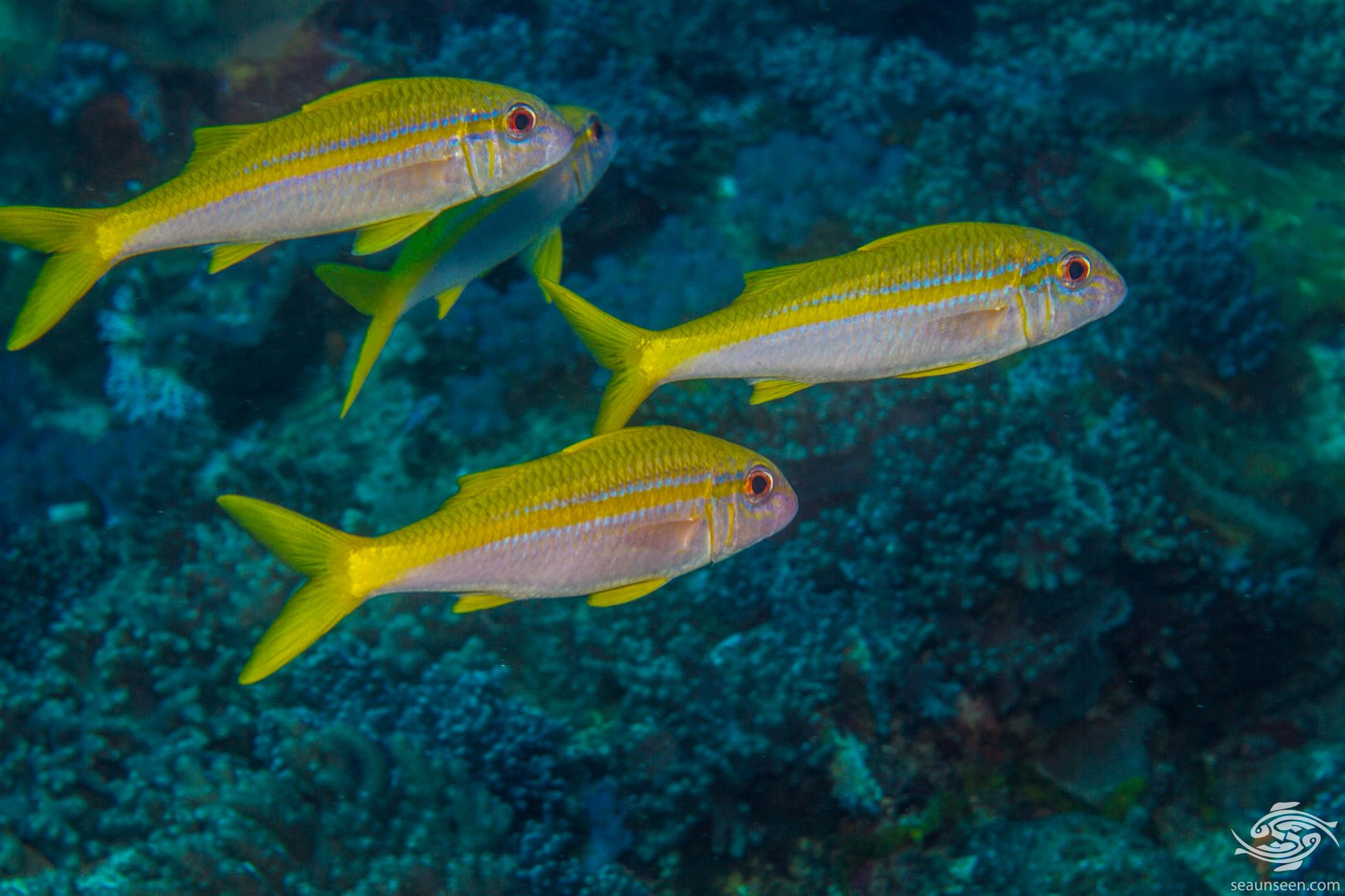 Mulloidychtys vanicolensis 1
