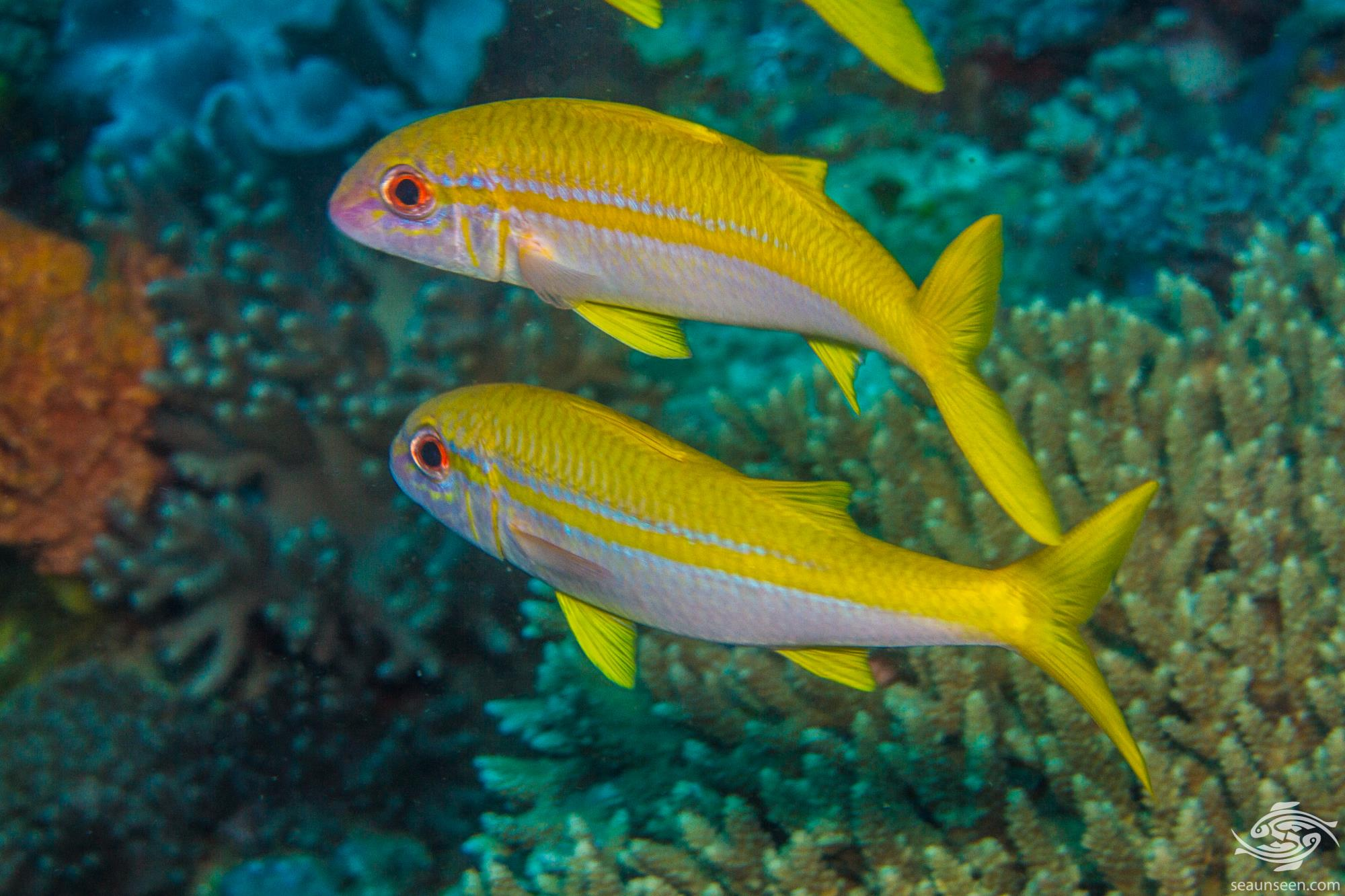 Yellowfin goatfish (Mulloidychtys vanicolensis) is also known as the Golden banded goatfish and the Goldstripe goatfish