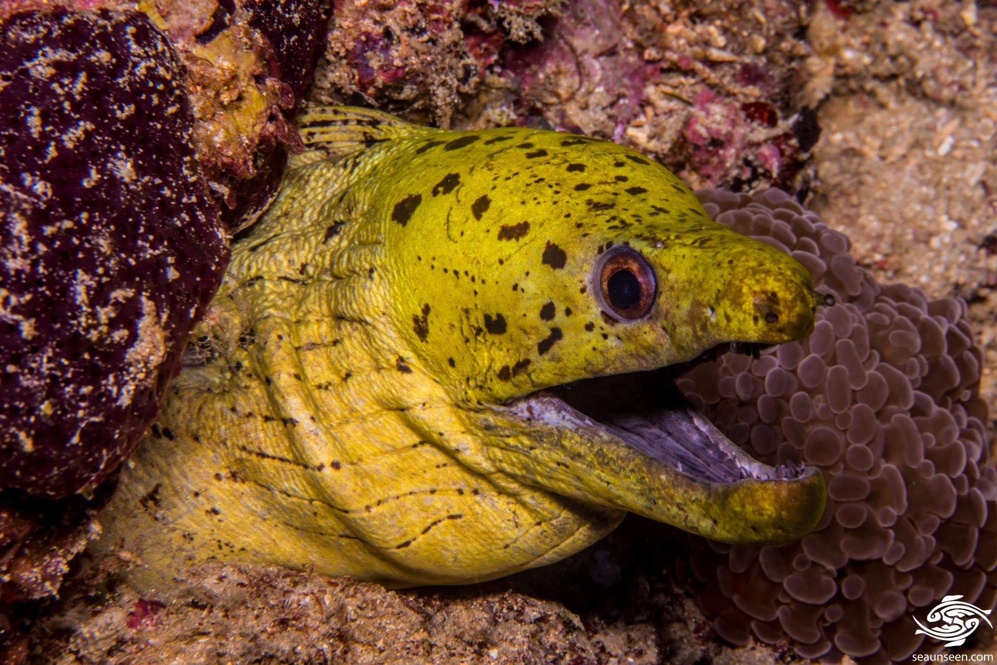 Fimbriated Moray Eel (Gymnothorax fimbriatus) is also known as the spot-face moray, the darkspotted moray and the Cheetah Moray