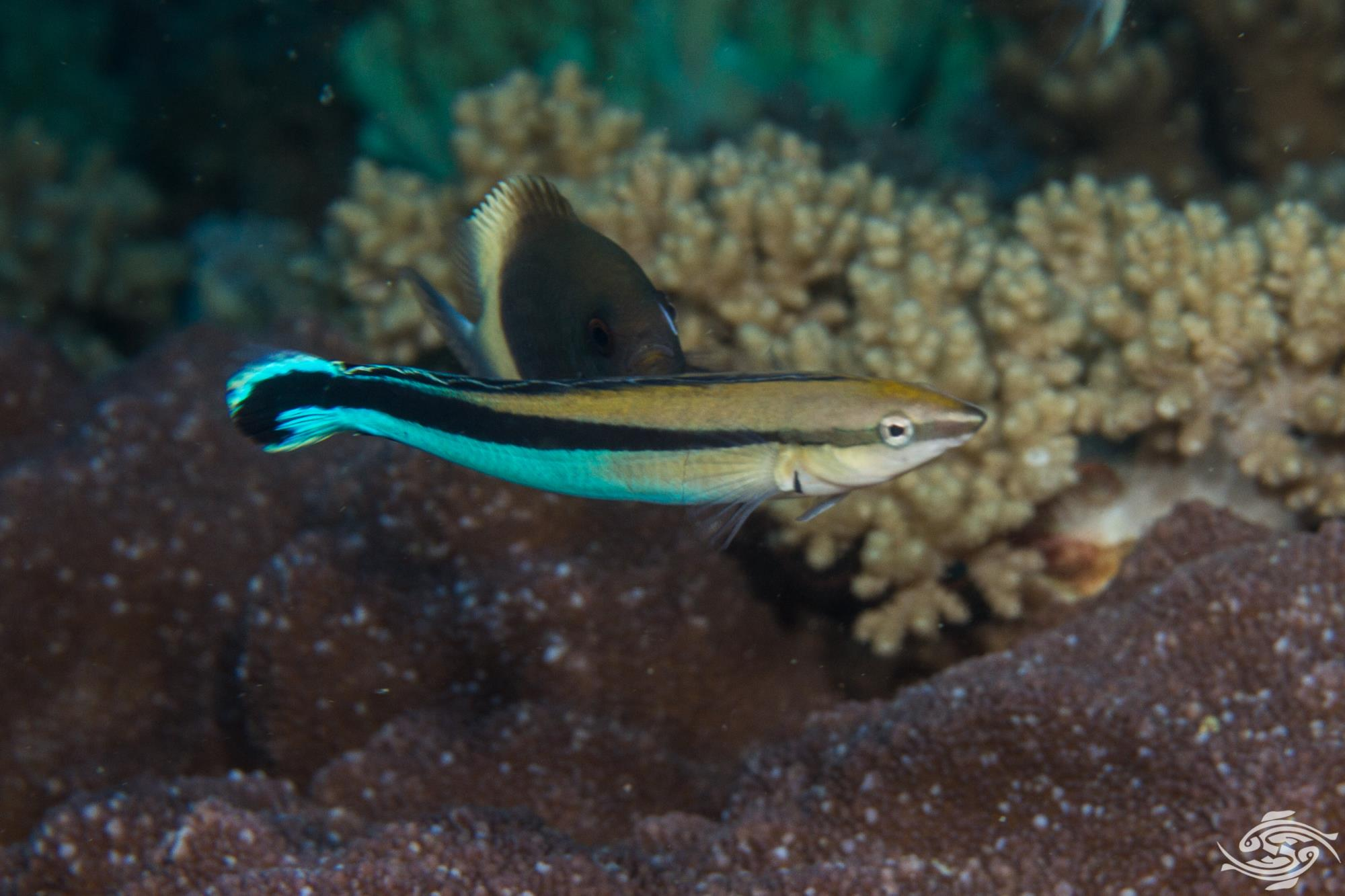 False Cleanerfish (Aspidontus tractus)