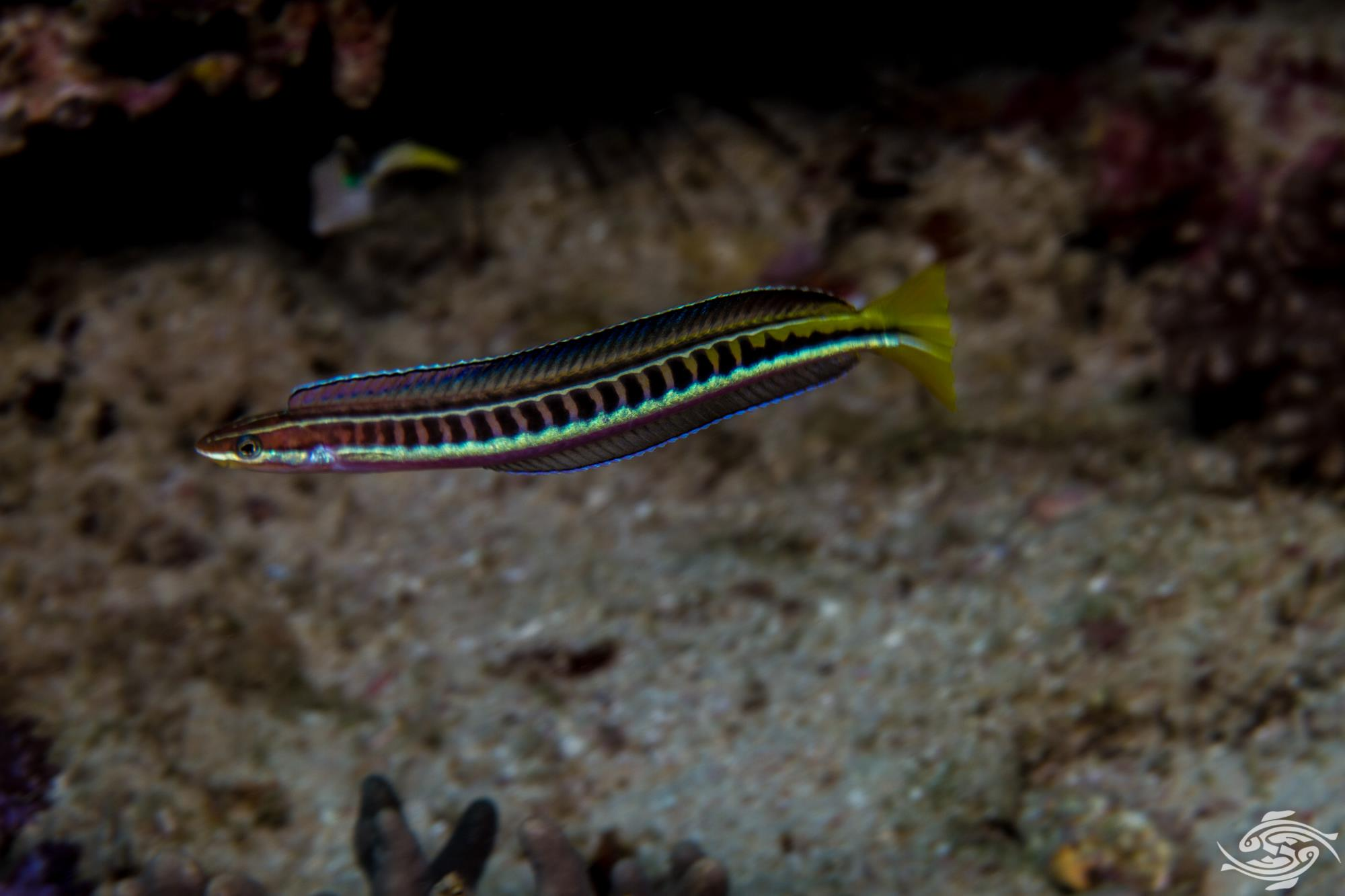 Piano Fangblenny (Plagiotremus tapeinosoma) is also known as the Hit and Run Blenny, Mimic Blenny and Scale-eating Fangblenny
