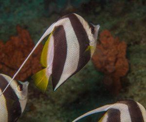 schooling bannerfish (Heniochus diphreutes), also known as the false moorish idol