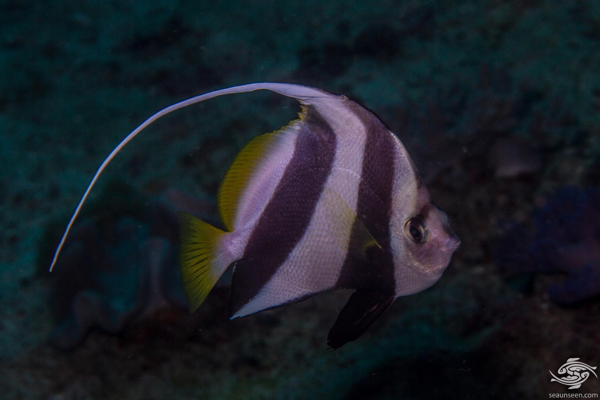 schooling bannerfish (Heniochus diphreutes), also known as the false moorish idol