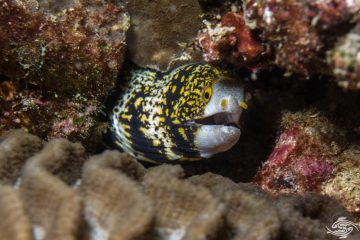 snowflake moray (Echidna nebulosa) also known as the floral moray and clouded moray