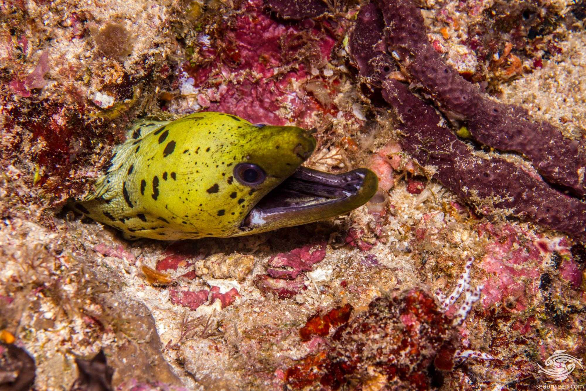 Fimbriated Moray Eel (Gymnothorax fimbriatus) is also known as the spot-face moray and the darkspotted moray