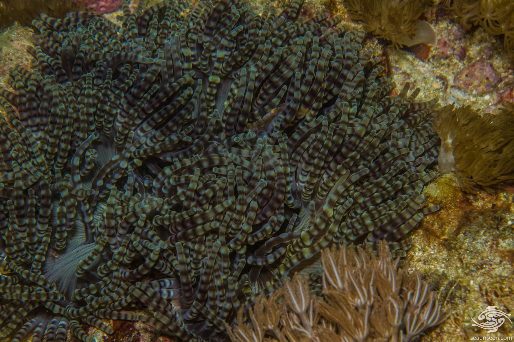Beaded Anemone, Heteractis aurora is also known as the Aurora anemone or Beaded sand Anemone