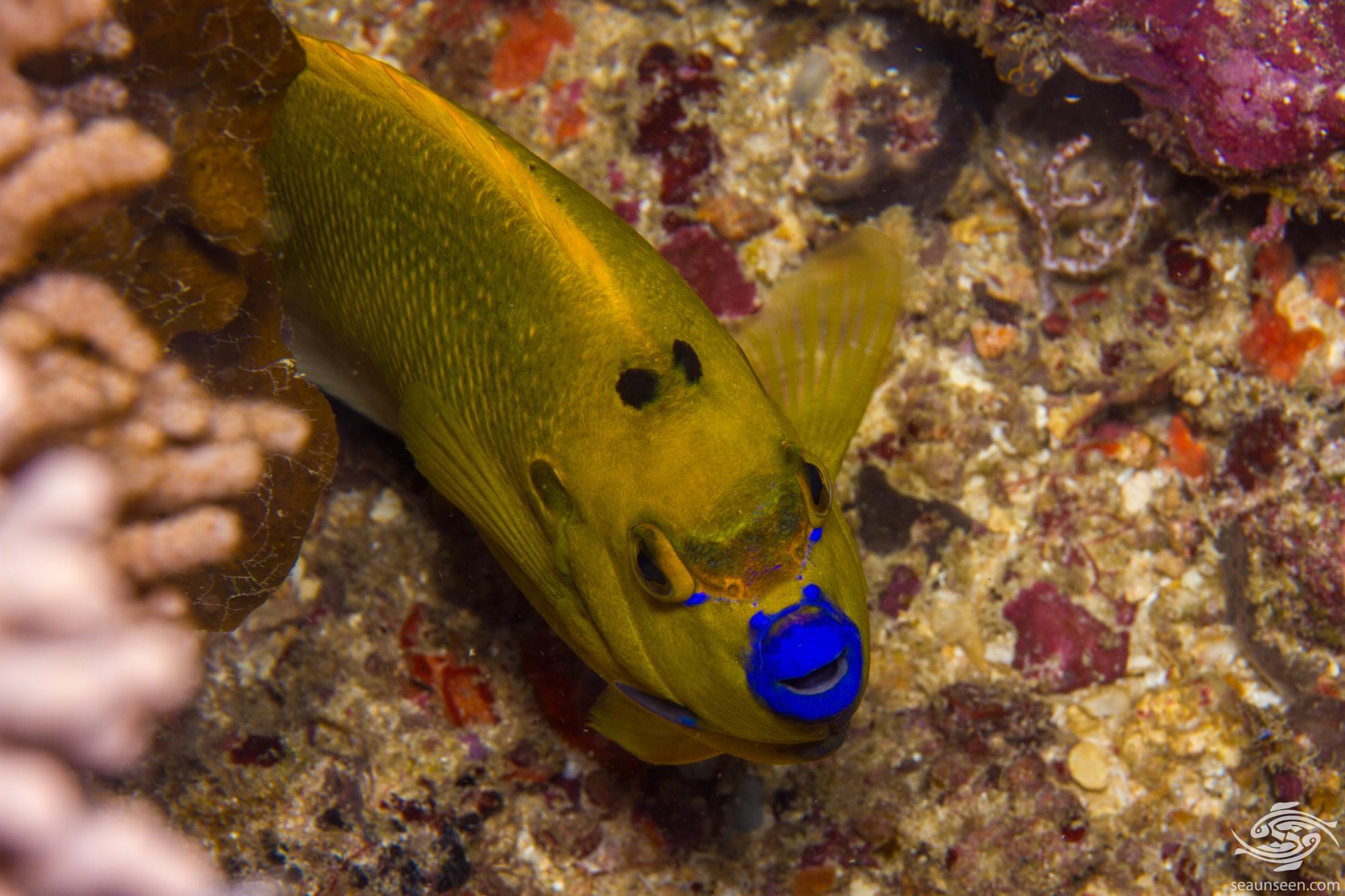 Apolemichthys trimaculatus 3