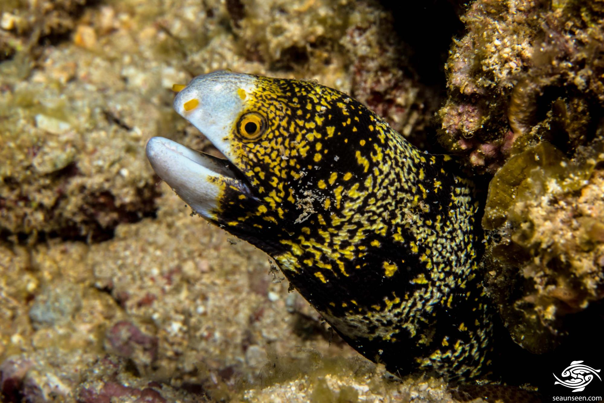 Snowflake moray (Echidna nebulosa) also known as the Floral Moray Eel, the Starry Moray Eel and the Clouded Moray Eel