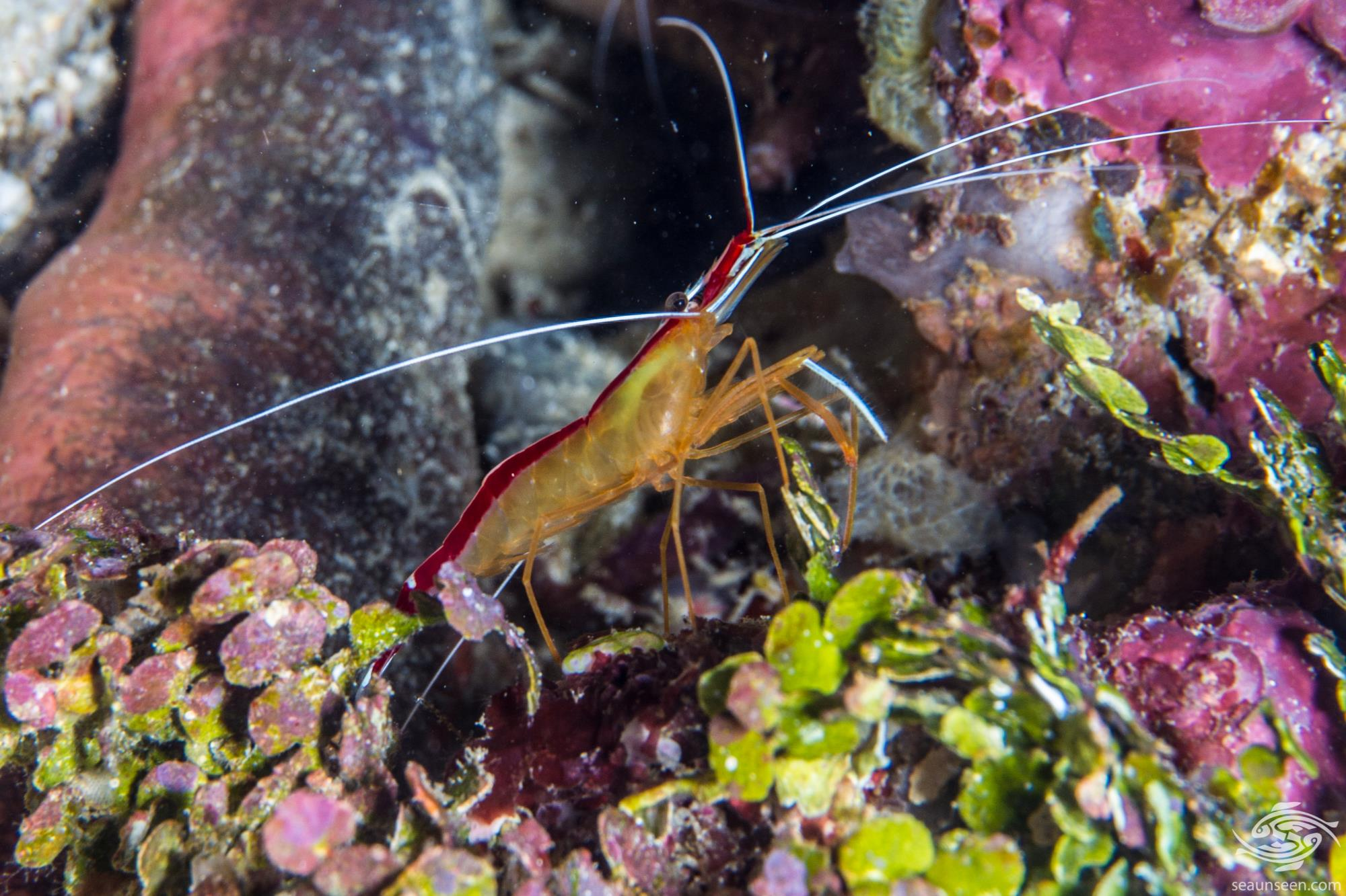 Pacific Cleaner Shrimp (Lysmata amboinensis) is also known as the Ambon Cleaner Shrimp, the Scarlet Cleaner Shrimp and as the Cleaner Shrimp.