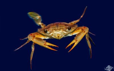 Smiths Swimming Crab (Charybdis smithii)