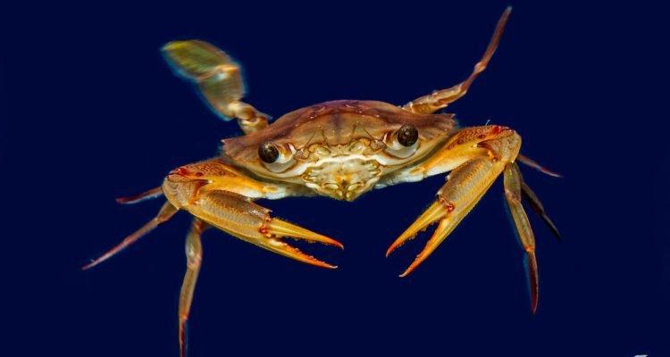 Smiths Swimming Crab (Charybdis smithii)