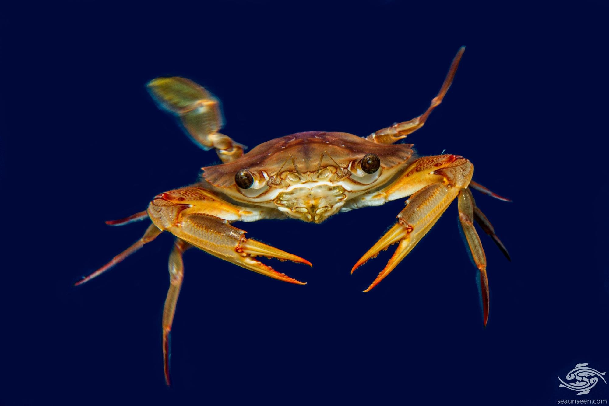 Smith's Swimming Crab (Charybdis smithii)