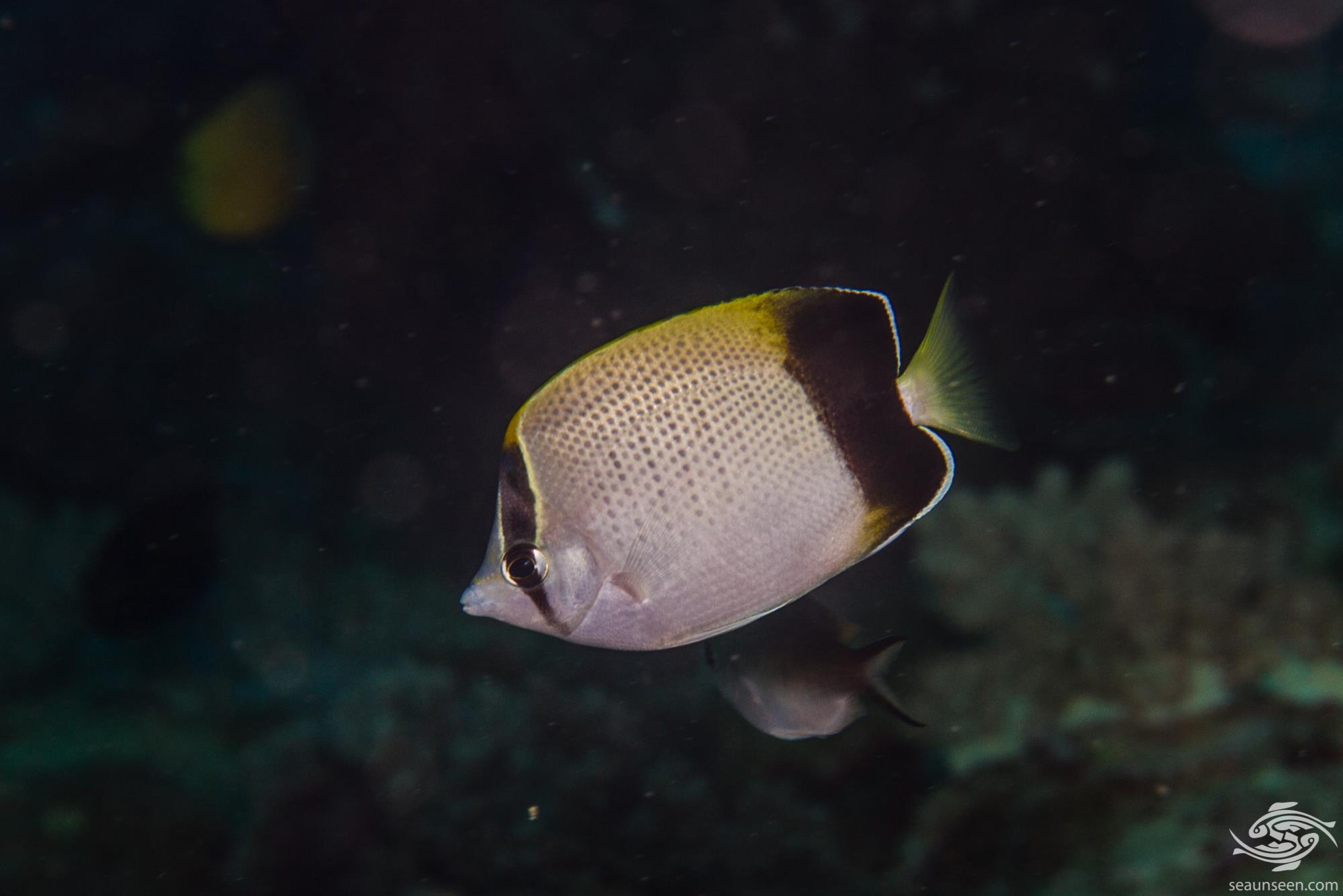 African Butterflyfish Chaetodon dolosus is also known as the , Blackedged Butterflyfish