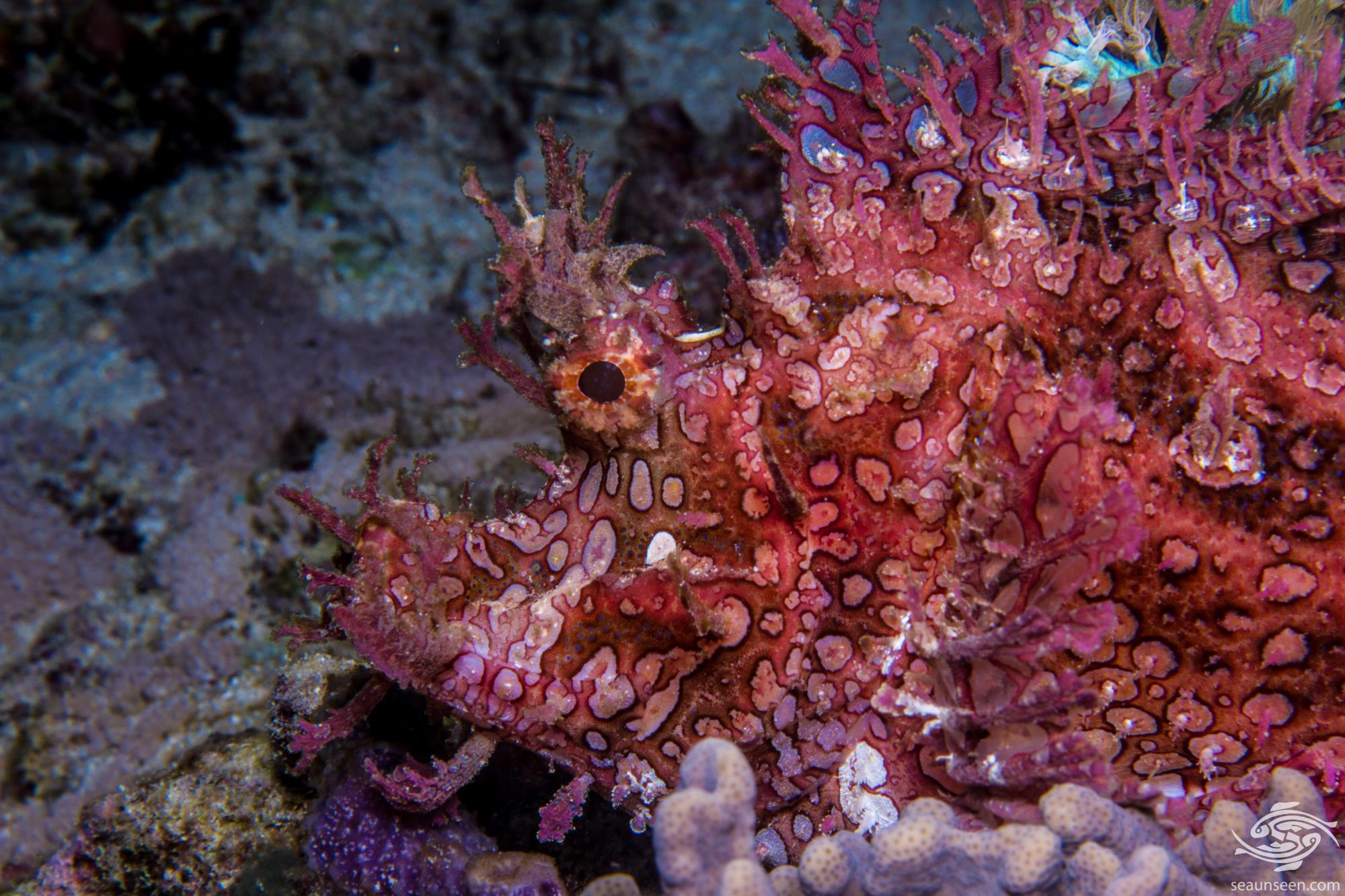 Weedy Scorpionfish Rhinopias frondosa