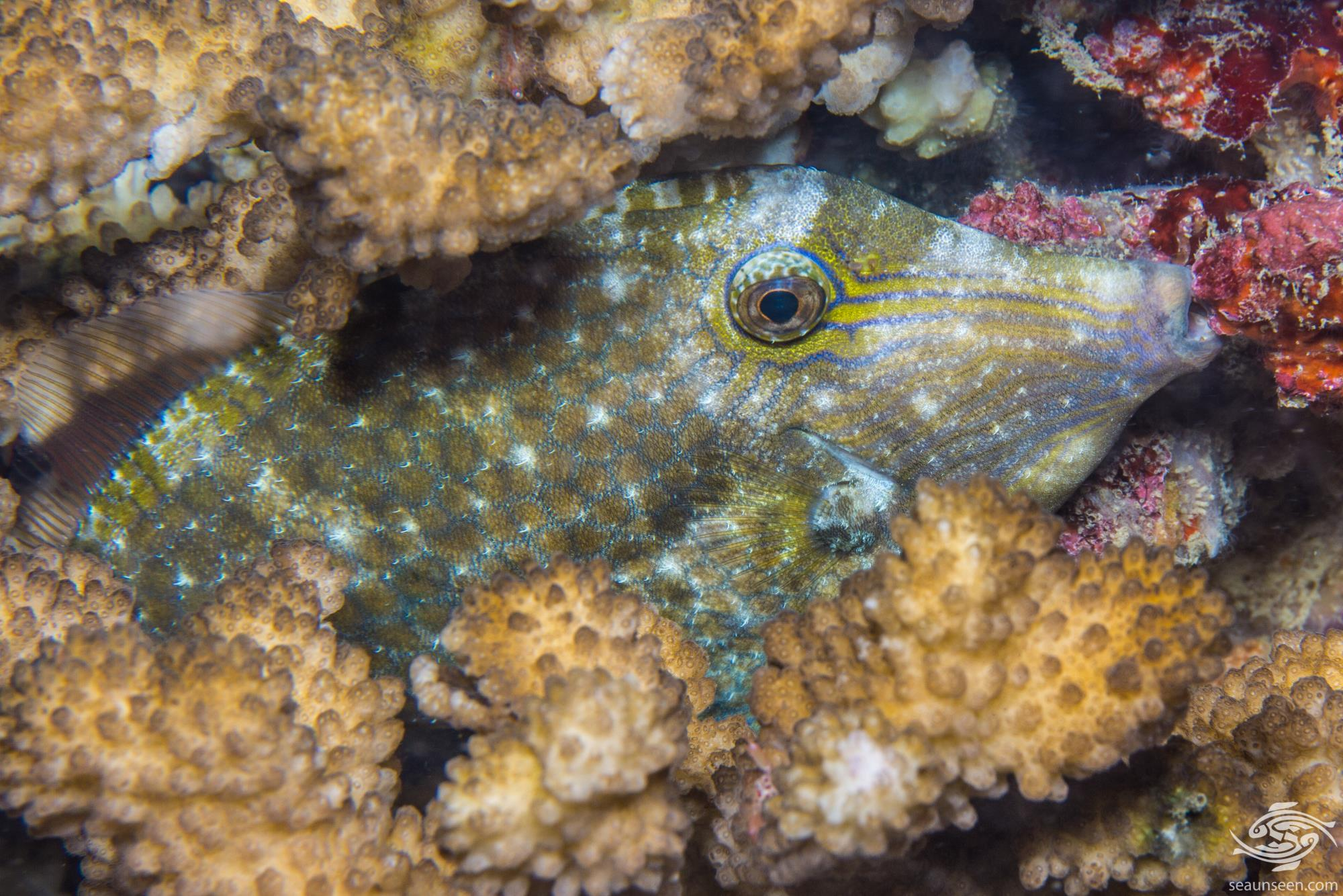 Honeycomb Filefish (Cantherhines pardalis)