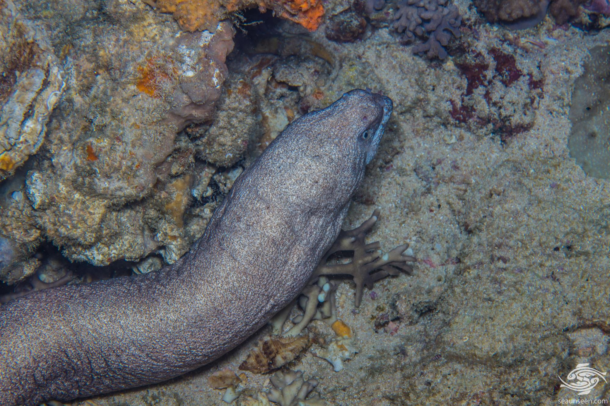 Unidentified species of Eel