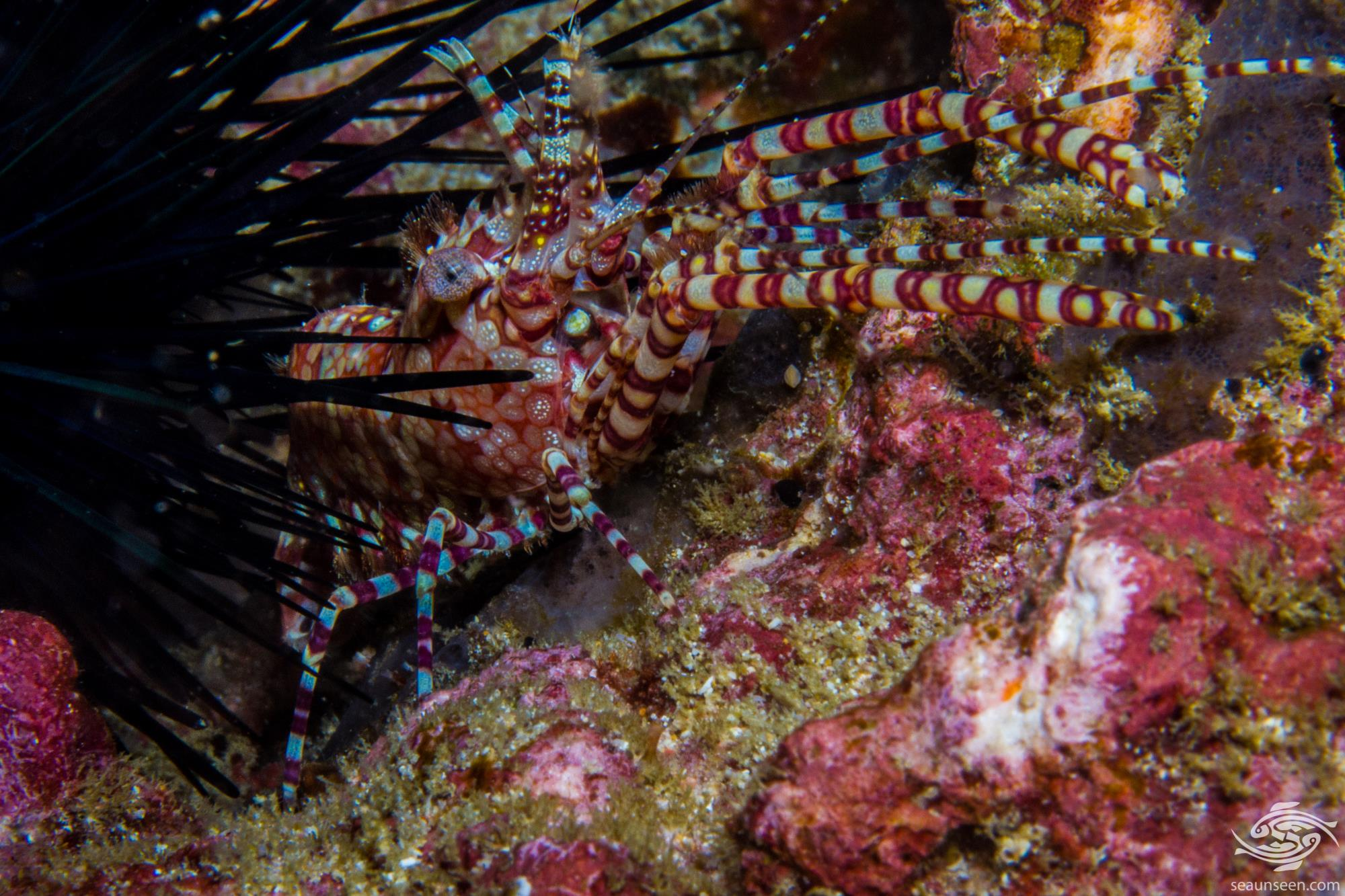 Marbled shrimp ( Saron marmoratus )
