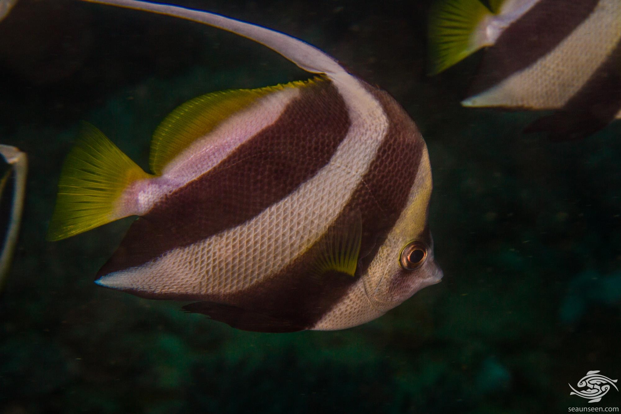 Schooling Bannerfish (Heniochus diphreutes) , is also known as the coachman or pennant bannerfish