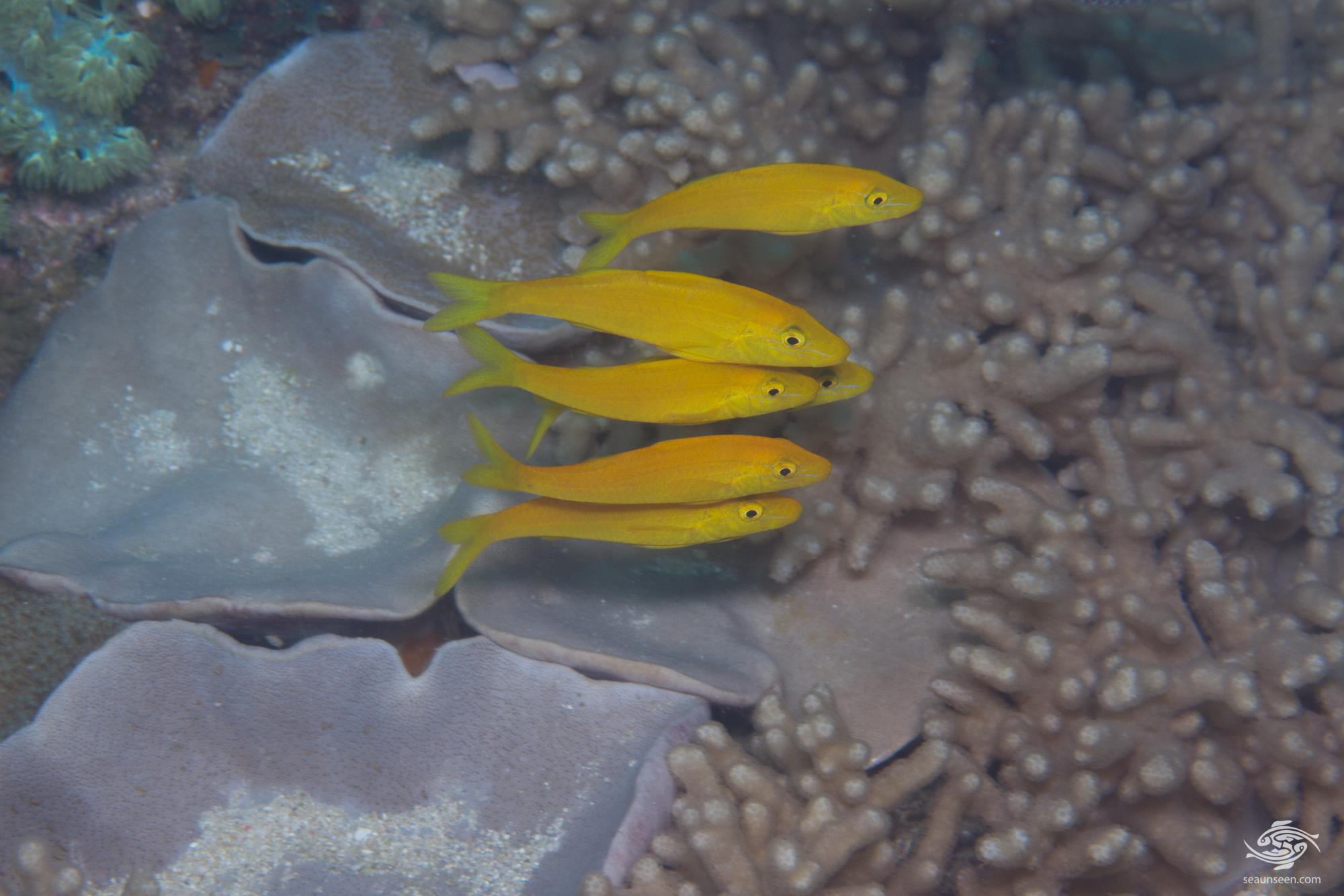 interesting fish behaviour goldsaddle goatfish or yellowsaddle goatfish, Parupeneus cyclostomus