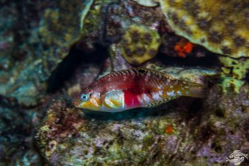 Nebulous wrasse also known as the Clouded rainbow fish, Clouded wrasse and the Picture wrasse