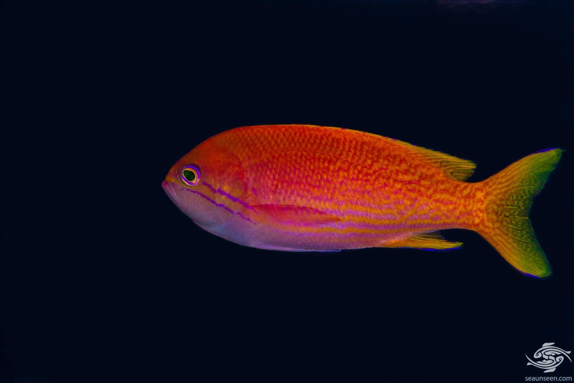 Twospot Anthias (Pseudanthias bimaculatus) is also known as the twinspot anthias and two-spot basslet