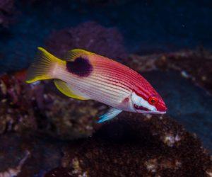 Saddleback Hogfish (Bodianus bilunulatus) is also known as the Blackspot wrasse, Crescent banded hogfish, Tarry hogfish and the Tuxedo hogfish