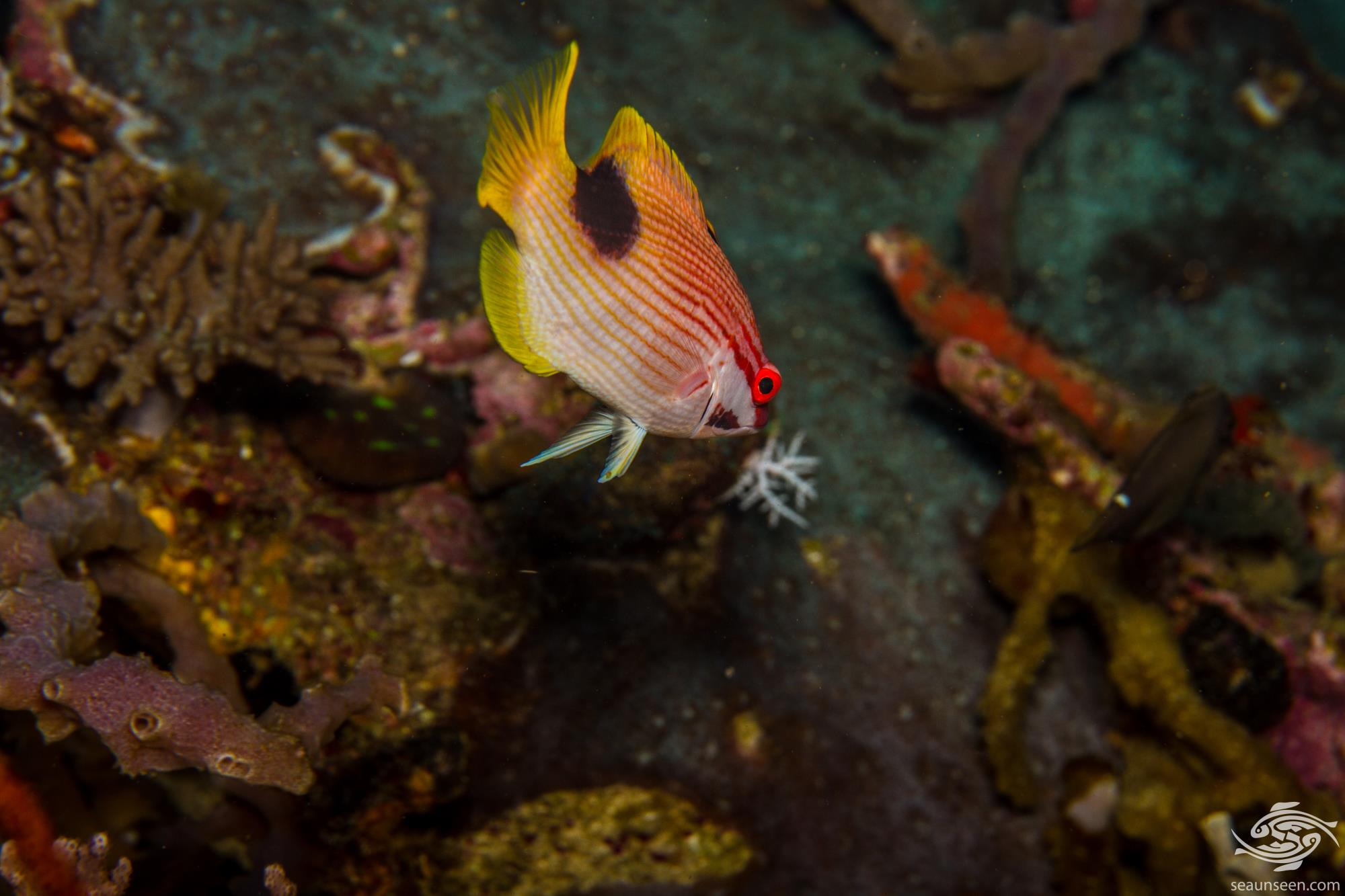 Saddleback Hogfish (Bodianus bilunulatus) is also known as the Blackspot wrasse, Crescent banded hogfish, Tarry hogfish and the Tuxedo hogfish