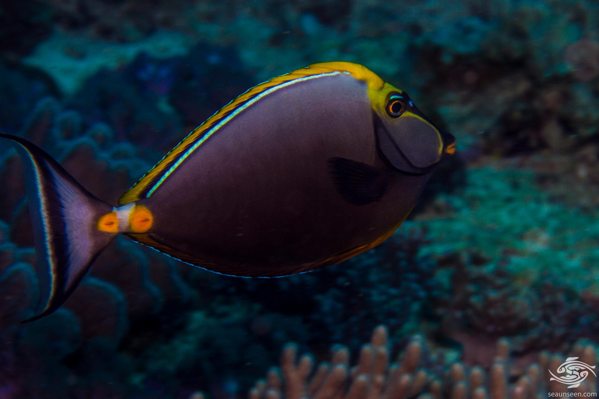 orange-spine unicornfish (Naso lituratus) also known as the clown tang, masked unicornfish and barcheek unicornfish