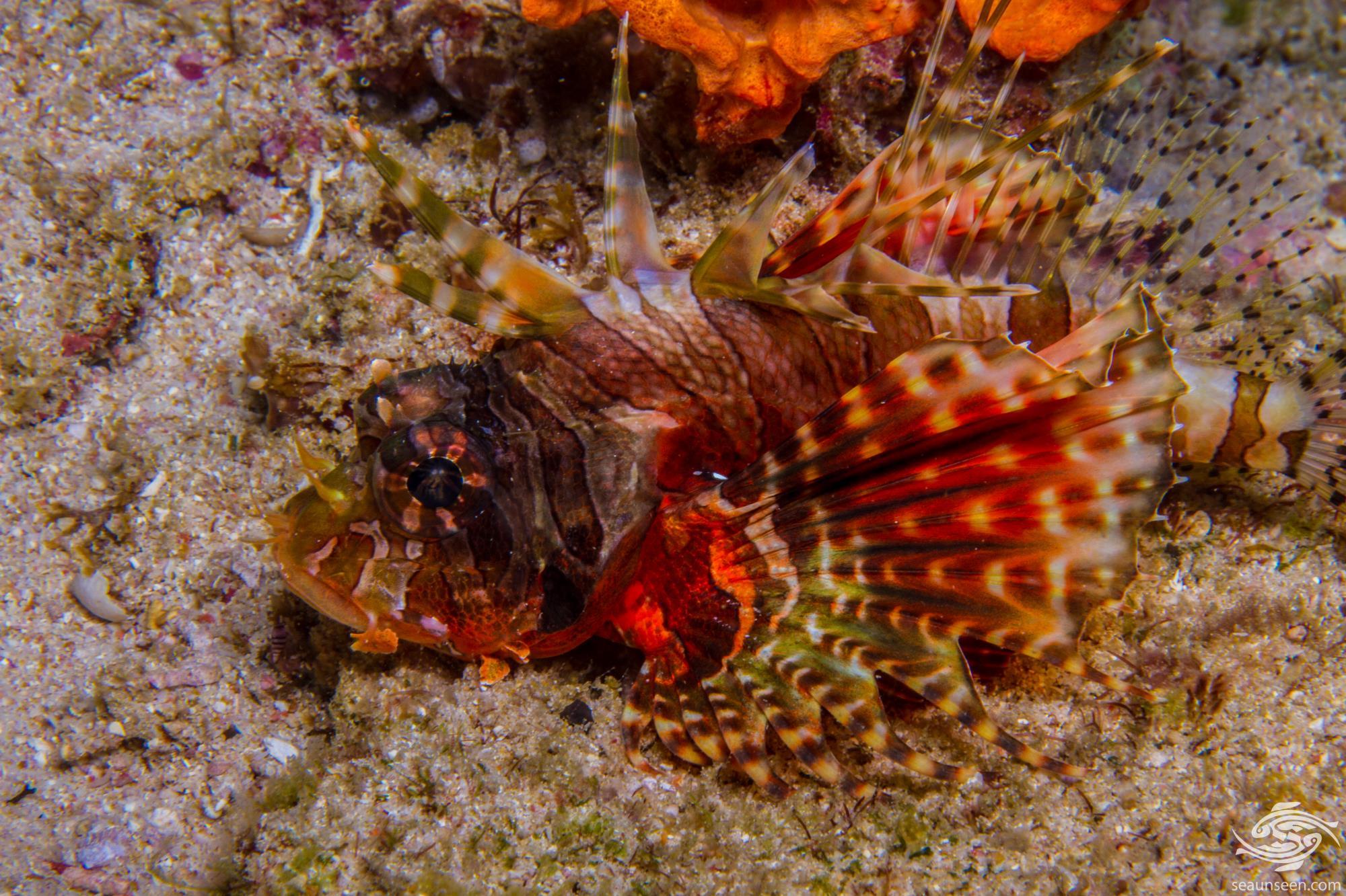 Zebra Lionfish Dendrochirus zebra or Dwarf Lionfish