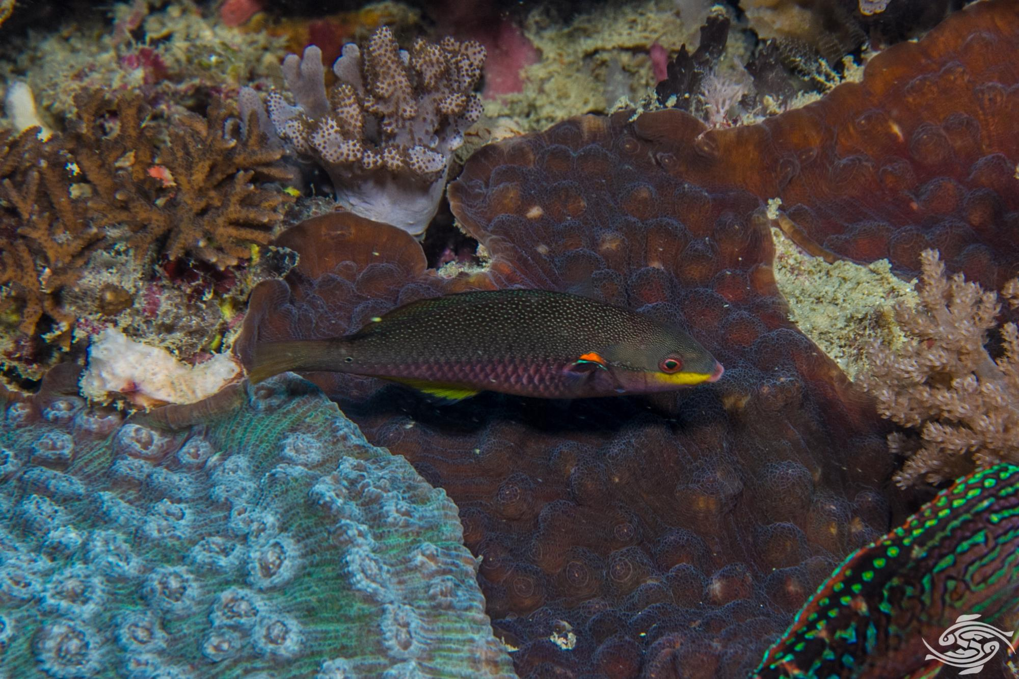 Female Blue-Lined Wrasse ( Stethojulis albovittata ) is also known as the Rainbowfish