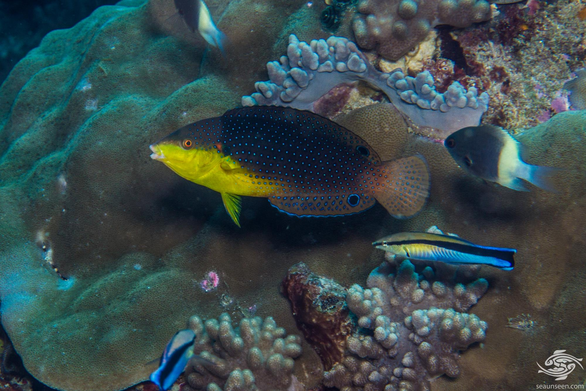 The Yellowbreasted wrasse, Anampses twistii is also known as the Twister Wrasse