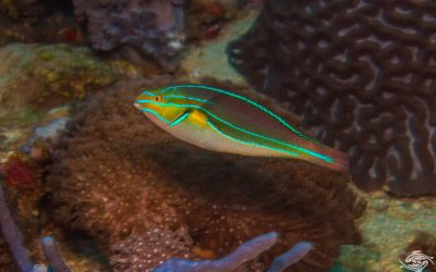 male Blue-Lined Wrasse ( Stethojulis albovittata ) is also known as the Rainbowfish