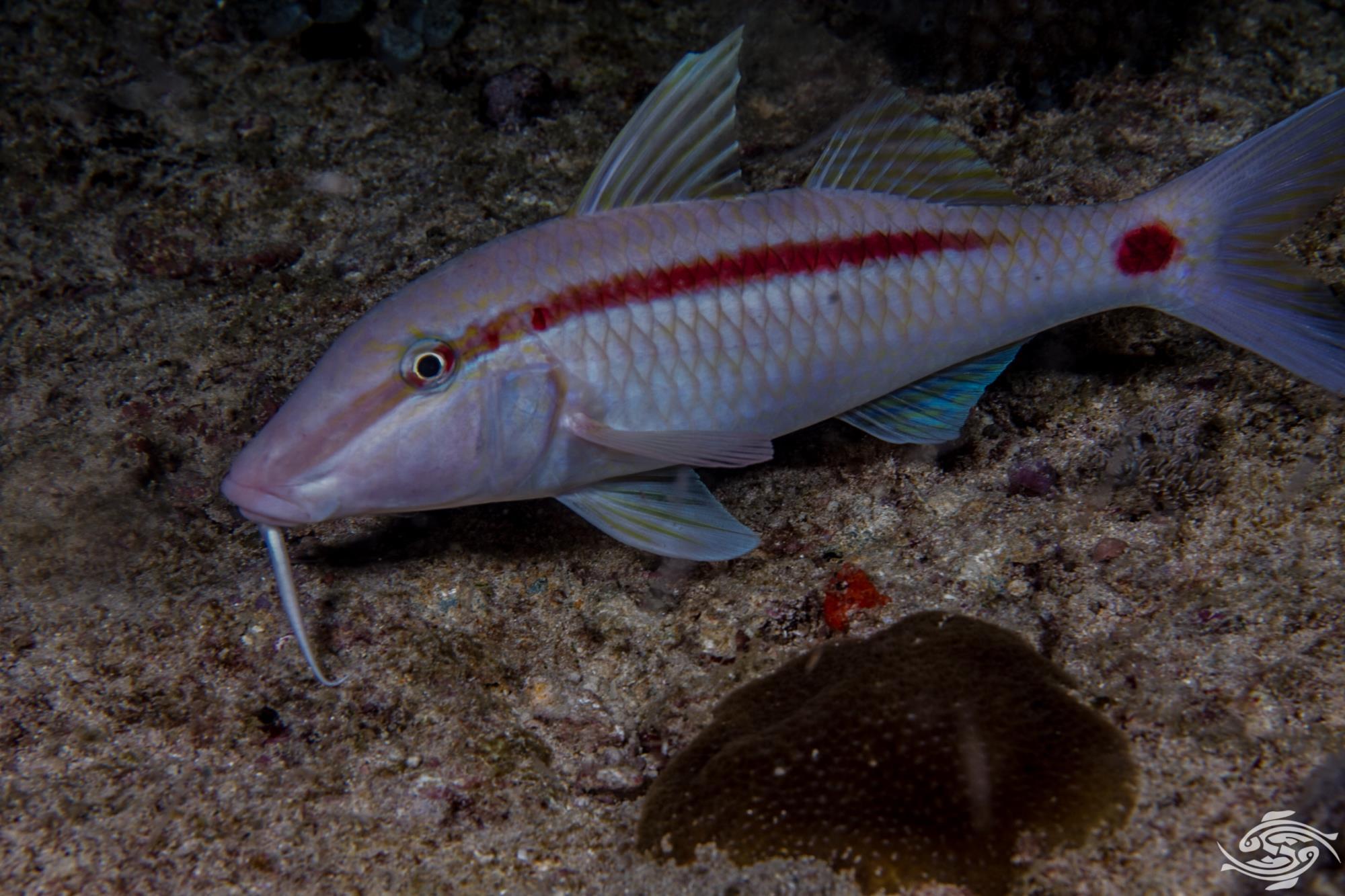 Dash-and-Dot goatfish (Parupeneus barberinus) is also known as the Dash dot Goatfish