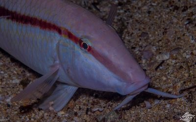 Dash-and-Dot goatfish (Parupeneus barberinus) is also known as the Dash dot Goatfish