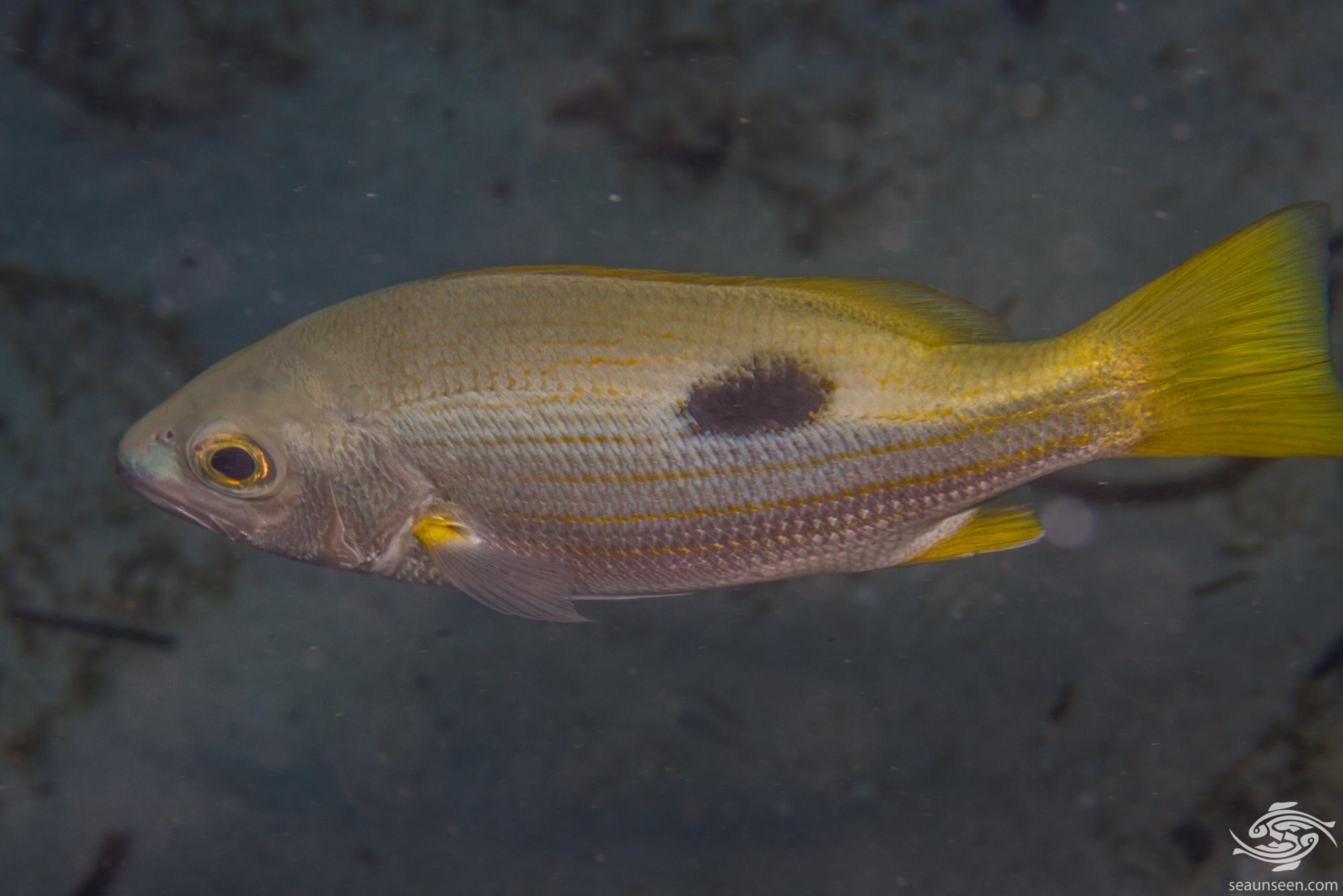 Ehrenberg's Snapper (Lutjanus ehrenbergii) is also known as the Blackspot Snapper and Ehrenberg's Seaperch.