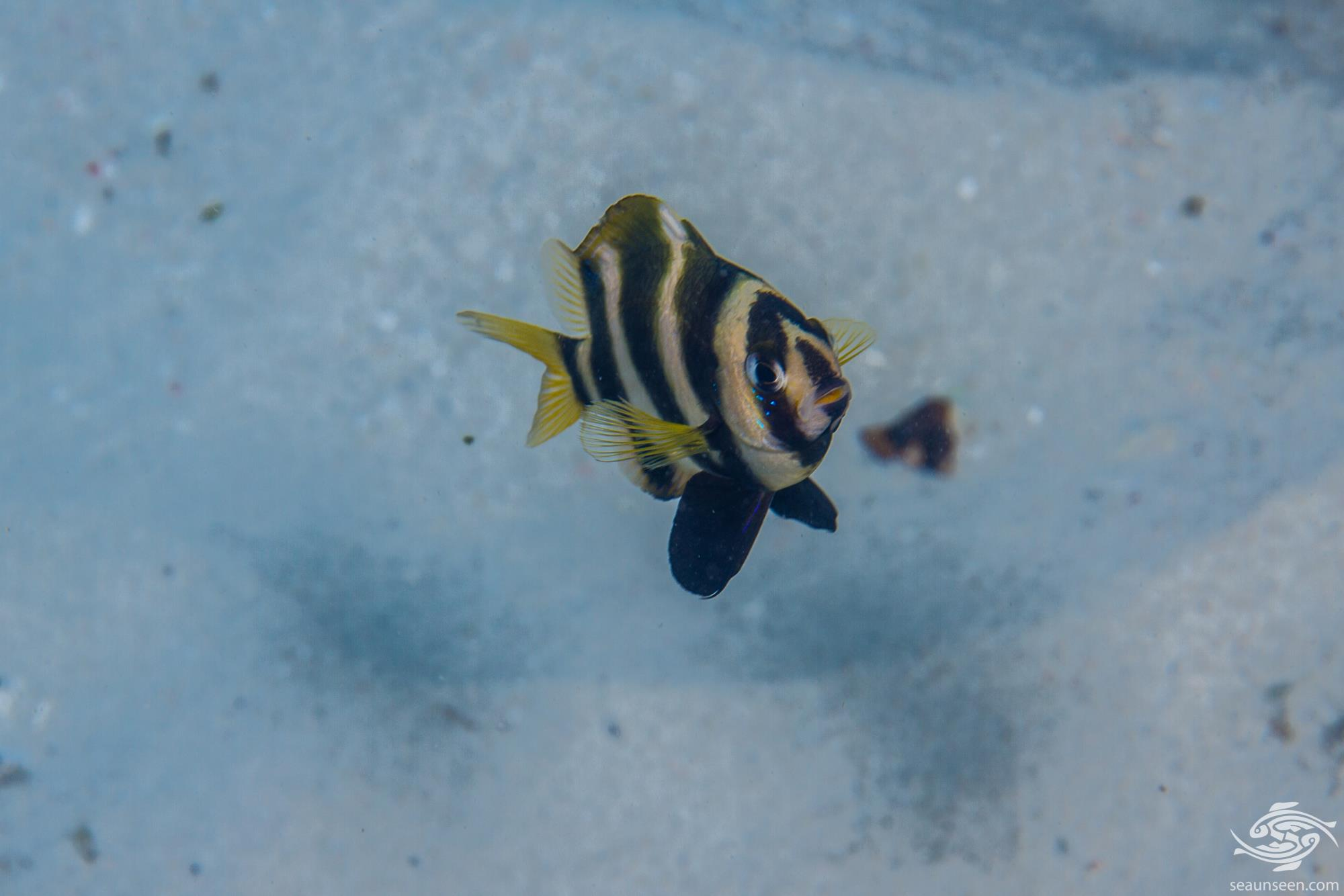 Tiger Damselfish (Chrysiptera annulata) also known as the Footballer demoiselle