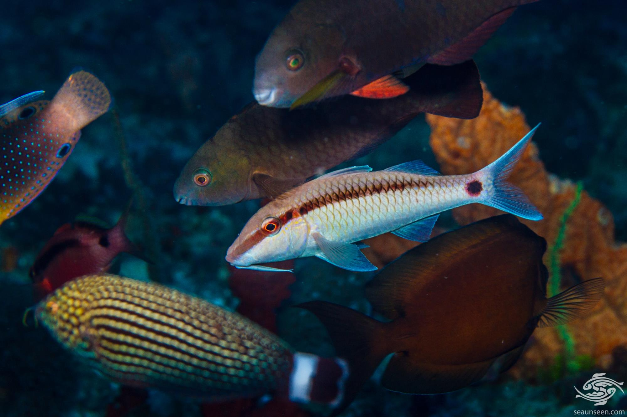 Dash-and-Dot goatfish (Parupeneus barberinus) is also known as the  Dash dot Goatfish.