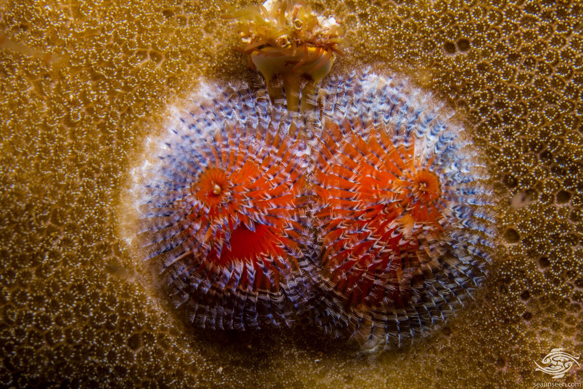 Christmas Worm ( Spirobranchus giganteus)