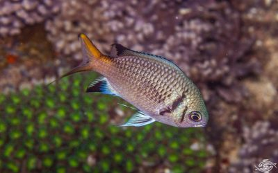 Double Bar Chromis ( Chromis opercularis) is also known as the Double Bar Lightning Chromis